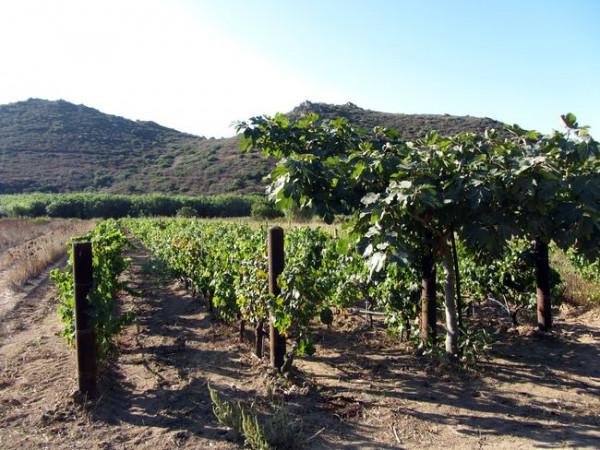 Weinreben-Sardinien-tiposarda
