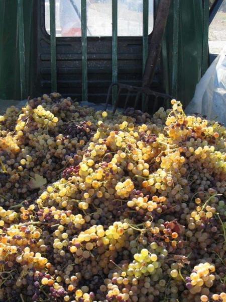Weinernte-2011-Moscato-tiposarda
